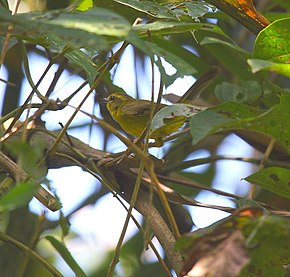 Description de l'image Golden-bellied Warbler.jpg.