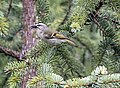 Golden-crowned Kinglet 859.jpg