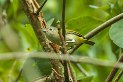 Golden-fronted Greenlet - Panama MG 2230 (23040966756).jpg