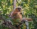 Golden Langur, Assam, close to Manas National Park 2.jpg