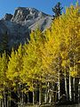 Golden aspen with Mount Wheeler in background - Flickr - pellaea.jpg