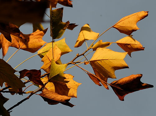 Golden autumn leaves of the Liriodendron.jpg