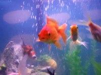 File:Goldfish in a tank.webm