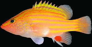 Spanish flag (fish) Species of fish
