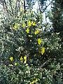 Gorse in flower - geograph.org.uk - 130769.jpg