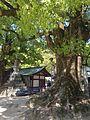 Grand camphor tree in front of Romon of Dazaifu Temman Shrine.jpg
