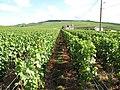 Grape Vines - panoramio.jpg