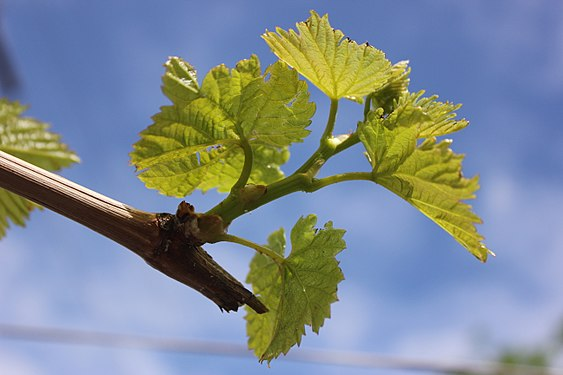 Grape leaves and buds in March in Yerevan.jpg