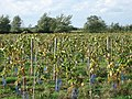 Grapevines - geograph.org.uk - 265555.jpg