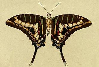 Graphium policenes - Image: Graphium policenes 1