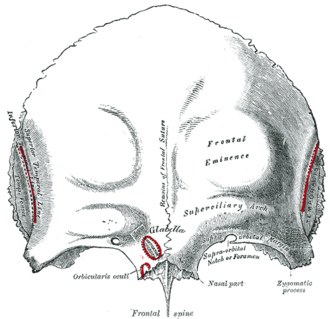 "Brow ridge - Frontal bone. Outer surface. Brow ridge labelled as ""superciliary arch"" at center right)."