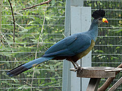 Great Blue Turaco SMTC.jpg