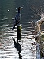Great Cormorant in Tenreuken.jpg