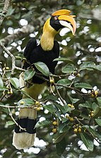 Great Hornbill (female) by N.A. Nazeer.jpg