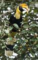 Great Hornbill (female) by N.A. Nazeer.jpg