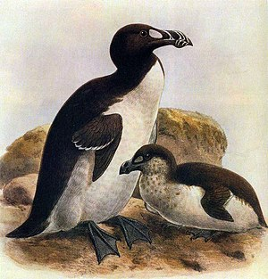 John Gerrard Keulemans - An illustration of the extinct great auk by Keulemans