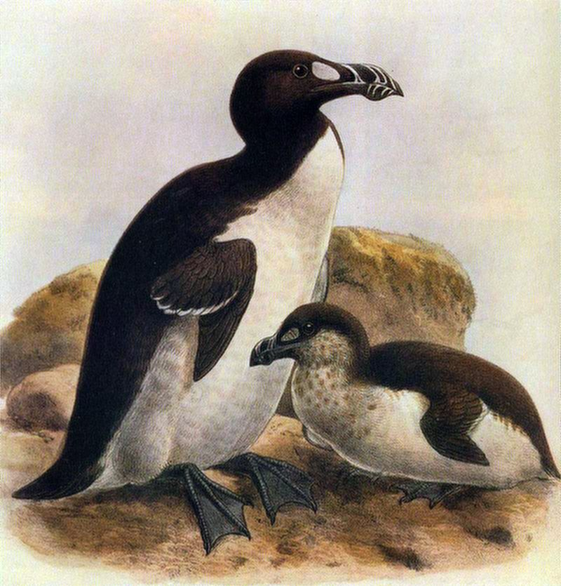 Great auk with juvenile