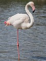 Greater Flamingo (19343377265).jpg