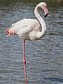 Greater Flamingo (19343377265).jpg