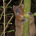 Greater bamboo lemur (Prolemur simus) male 2.jpg