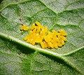Green Dock Beetle (Gastrophysa viridula) eggs - Flickr - gailhampshire.jpg