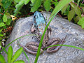 Green Frog, blue coloured, Fletcher Wildlife Garden.jpg