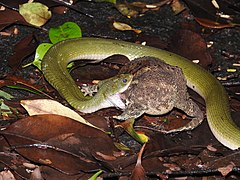 Green Keelback Rhabdophis plumbicolor Snake by Dr. Raju Kasambe DSCN8405 (1) 02.jpg