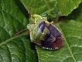 Green Shieldbug (Palomena prasina) (4578757500).jpg