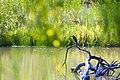 Green heron (47742995631).jpg