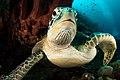 Green turtle portrait 2 lekuan 1, siladen, indonesia (34860107472).jpg