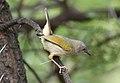 Grey-backed Camaroptera, Camaroptera brachyura, at Pilanesberg National Park, South Africa (15995674952).jpg