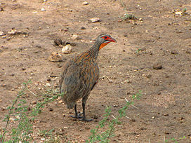 Grey-breasted Spurfowl.jpg