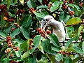 Grey-hornbill feeding on bynian-figs.jpg