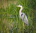 Grey heron (47846564091).jpg