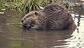 Griff Creek Beaver One Day Before Execution Oct. 5, 2010.jpg