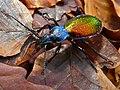 Ground Beetle (Chrysotribax hispanus) (8334192476).jpg