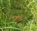 Groundhog in Tall Grass (9328592610).png