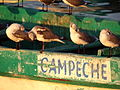 Gulls on Campeche Fishing Boat - Campeche - Mexico.jpg