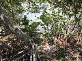 Gumbo Limbo mangrove shore.JPG