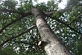 HK CWB 高士威道 Causeway Bay Road 維多利亞公園 Victoria Park tree Sept 2017 IX1 吉貝 Ceiba pentandra trunk 07.jpg