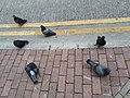 HK SYP 西營盤 Sai Ying Pun 高街 High Street 東邊街 Eastern Street pigeons birds April 2020 SS2 01.jpg