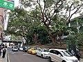 HK TST 尖沙咀 Tsim Sha Tsui 海防道 Haiphong Road trees February 2020 SS2 01.jpg