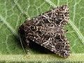 Hadena capsincola - Семенная совка обыкновенная (26195101607).jpg
