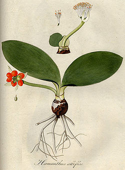 meaning of haemanthus