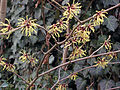 Hamamelis intermedia (x) flowers and twigs (Toverhazelaar).jpg