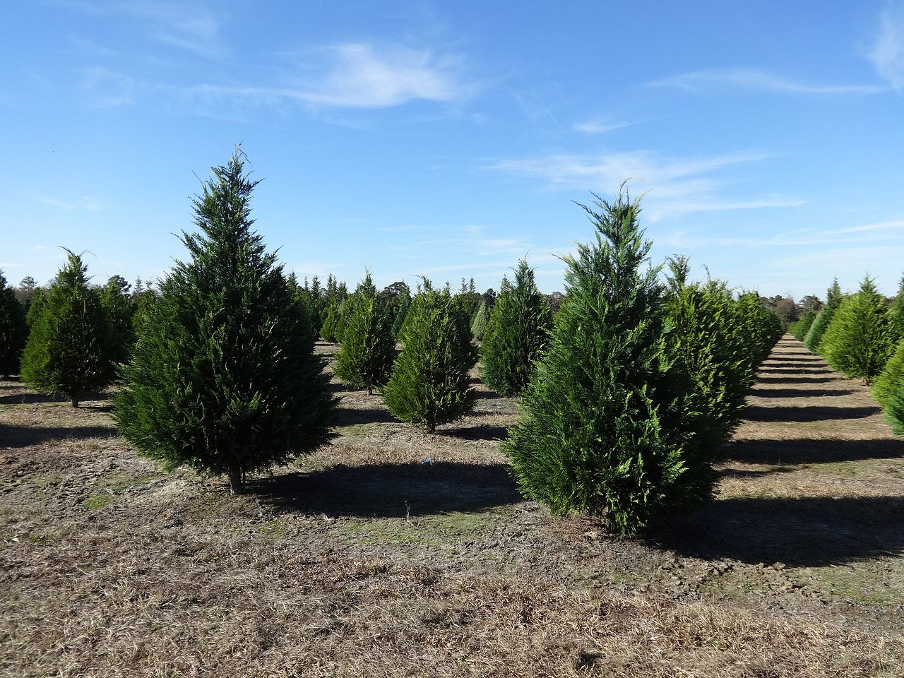 File:Hambrick's Christmas Tree Farm, Leyland Cypress