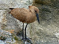 Hamerkop (Scopus umbretta) (12716831915).jpg