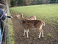 Hand feeding in Ickworth Park deer enclosure - geograph.org.uk - 95686.jpg
