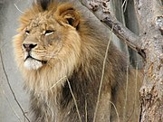 During confrontations with others, the mane makes the lion look bigger than he really is.