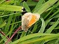 Harderbos - Hooibeestje (Coenonympha pamphilus) v1.jpg